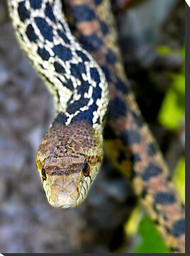 Gopher Snake. Figueroa Mountain, Santa Ynez, CA by Eyal Nahmias