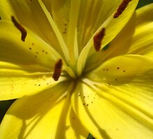 lily by Janet McArthur
