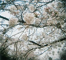 Cherry Blossoms by fab2can