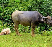 A Calf and his Mother - Sa pa, Vietnam. by Tiffany Lenoir
