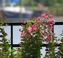 Pink Crepe Myrtle   (1407070445VA) by photroen