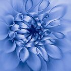 Dahlia, cyanotype by John Edwards