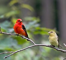 Mr & Mrs Scarlet Tanager by Benjamin Young