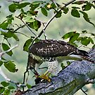 RedTail 2 by Benjamin Young