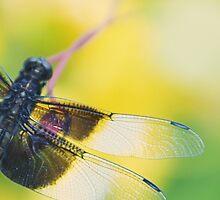 Delicate Dragonfly by BlueEyedBrooke