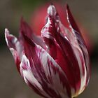 Tulip Stripe by Sally Haldane