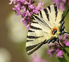 Papillon by martrix