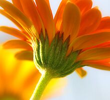 Beautiful Gerbera by AngelPhotozzz