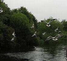 Seagulls over the Water of Leith by Yonmei