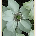 White Clematis by punch
