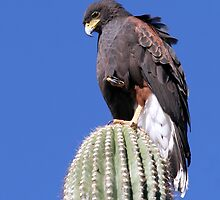 Harris' Hawk by Daniel J. McCauley IV
