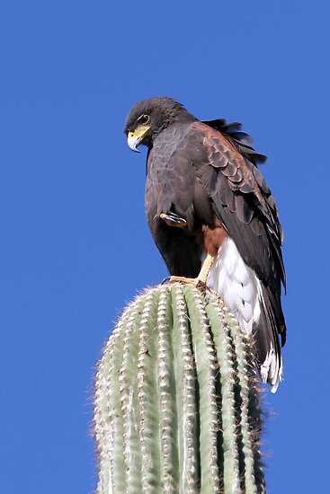 Harris' Hawk by Daniel J. McCauley IV