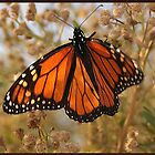 MONARCH by John Davis