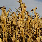 Corn Stalks by Christine King