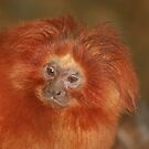 Golden Lion Tamarin by Tokay