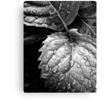 Hydrangea raindrops III Canvas Print