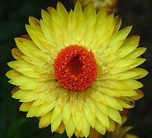 Iris 'Royal Yellow' by Mark Wilson