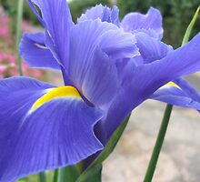 Purple Iris by Emjay