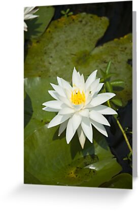 """White Lilly by Arthur """"Butch"""" Petty"""