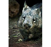 Hairy Nose Wombat Photographic Print