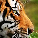 Panthera Tigris by Greg Riegler