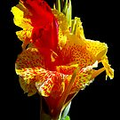 Canna Lily by Eyal Nahmias