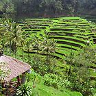 Indonesian Rice Paddies by 945ontwerp