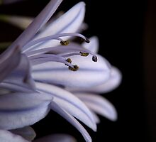 Blue Agapanthus Macro by Martie Venter
