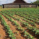 Tobacco Farm, Cuba by ponycargirl