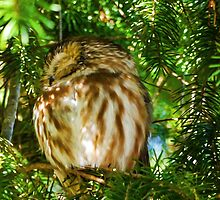 Sleepy Saw-whet Owl on a Sunny Afternoon by Jordan Blackstone