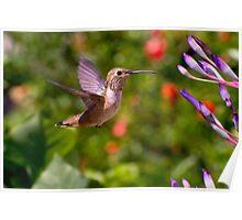 Female Allen's Hummingbird Poster