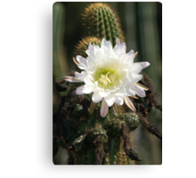 White Cactus Bloom Canvas Print