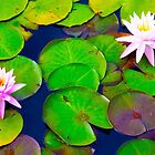 Waterlilies by Sandro Rossi