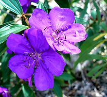 Tibouchina by Virginia McGowan
