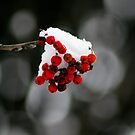 Winter Berries by Adrian Richardson