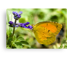 Orange-Barred Sulphur Butterfly Canvas Print