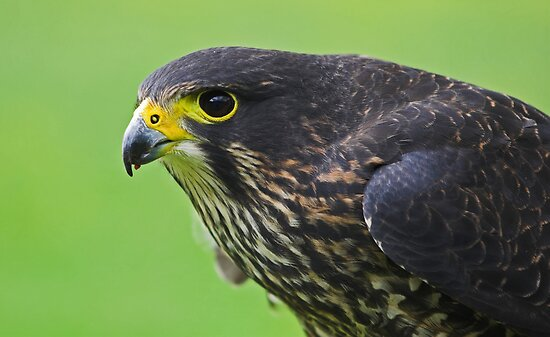 New Zealand Falcon by Robyn Carter