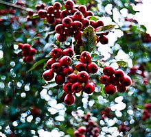 Yew Tree Berries by Matthew Thompson