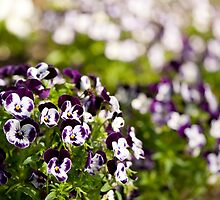 Purple white Viola or pansy variegated flowers  by Arletta Cwalina