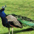 Pretty as a Peacock by paula whatley