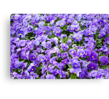 pansy flowers blooming  Canvas Print