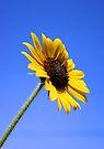Sunflower by Daniel J. McCauley IV