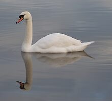 Mute Swan Reflection by Robert Carr
