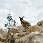 Yellow-Footed Rock Wallaby by jess116