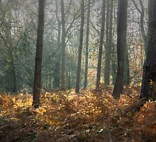 Mist and sunshine in the woods by Judi Lion