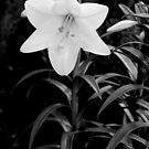 Longiflorum Lily, black and white by PigleT