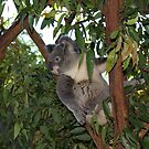 Backyard Koala by Backyard