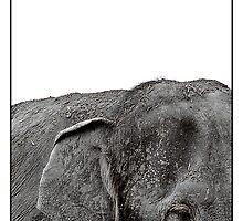 Asian Elephant by Shannon Benson