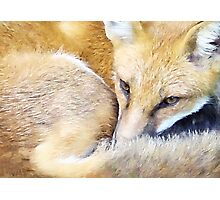 Resting Red Fox Photographic Print