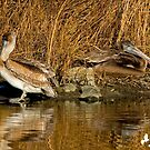 Pelicans Relaxing by imagetj